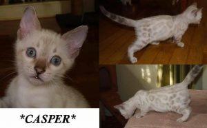 Casper Snow Bengal