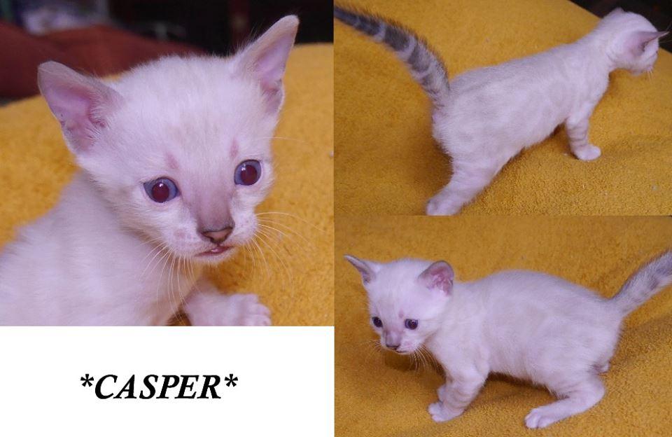 Casper - Snow Rosetted Bengal Kitten