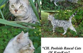 Champion Poolside Rascal Cats of KotyKatz