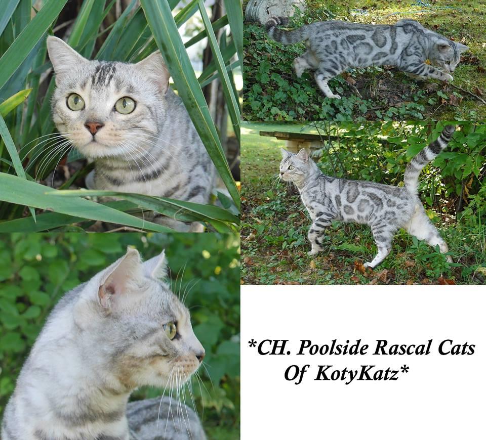 Champion Poolside Rascal Cats of KotyKatz