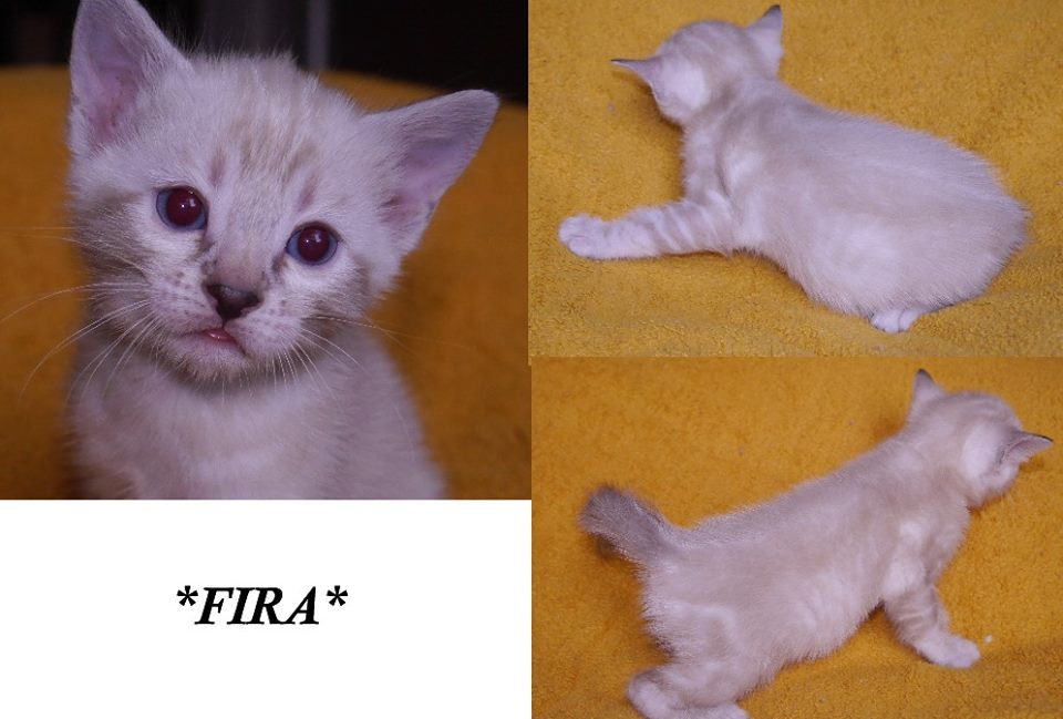 Fira - Snow Marble Bengal Kitten