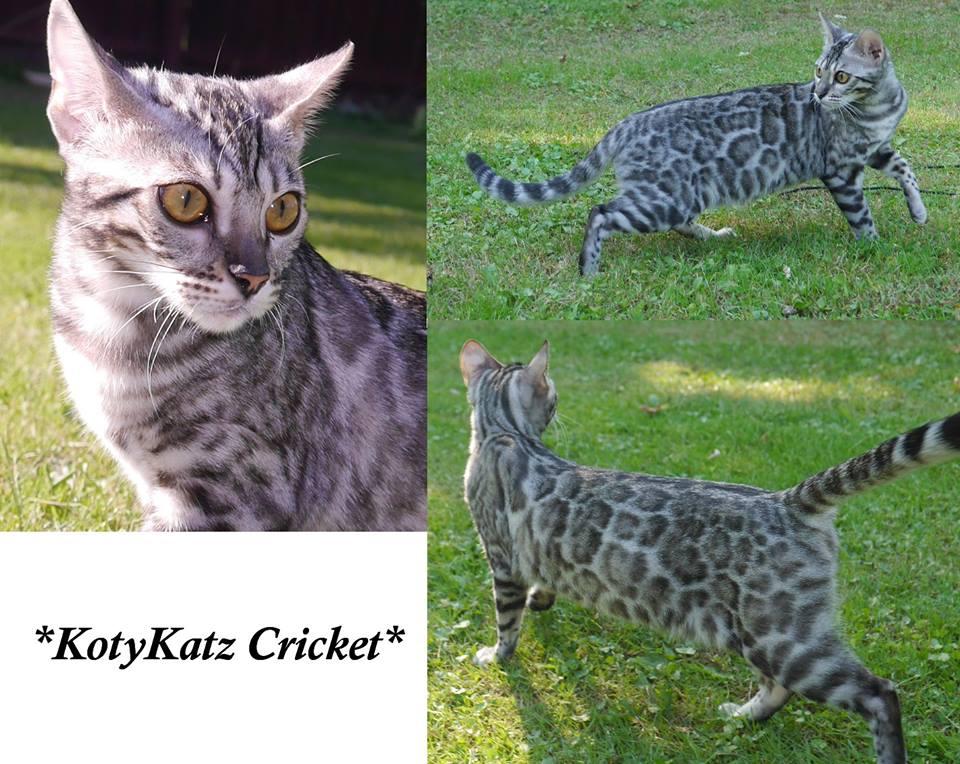 KotyKatz Cricket