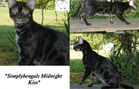 SimplyBengals Midnight Kiss