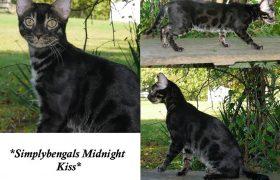 SimplyBengals Midnight Kiss