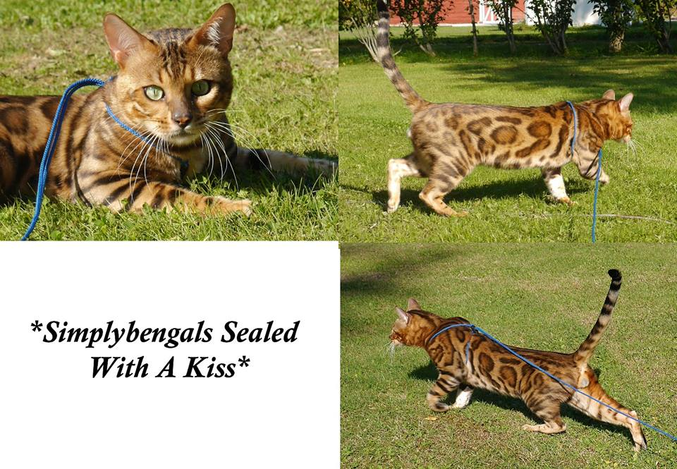 SimplyBengals Sealed With a Kiss