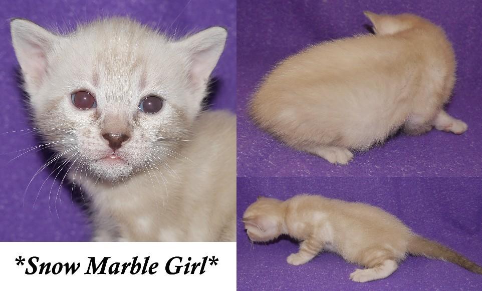 Snow Marble Bengal Kitten