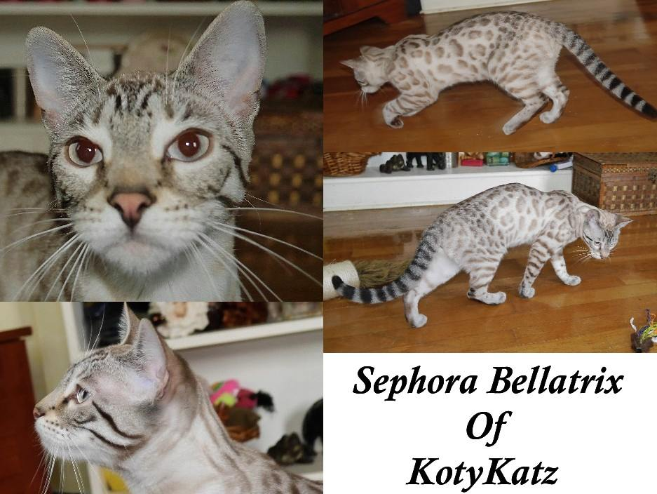 Sephora-Bellatrix-of-KotyKatz