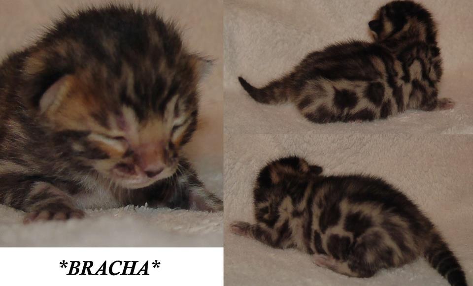 Bracha - Brown Rosetted Bengal Kitten 1 Week
