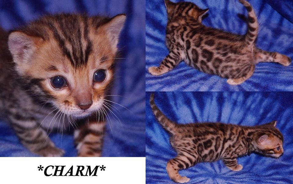 Charm Bengal Kitten 3 Weeks