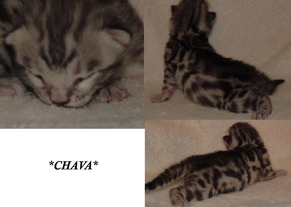 Chava - Silver Spotted GIrl Bengal Kitten 1 Week