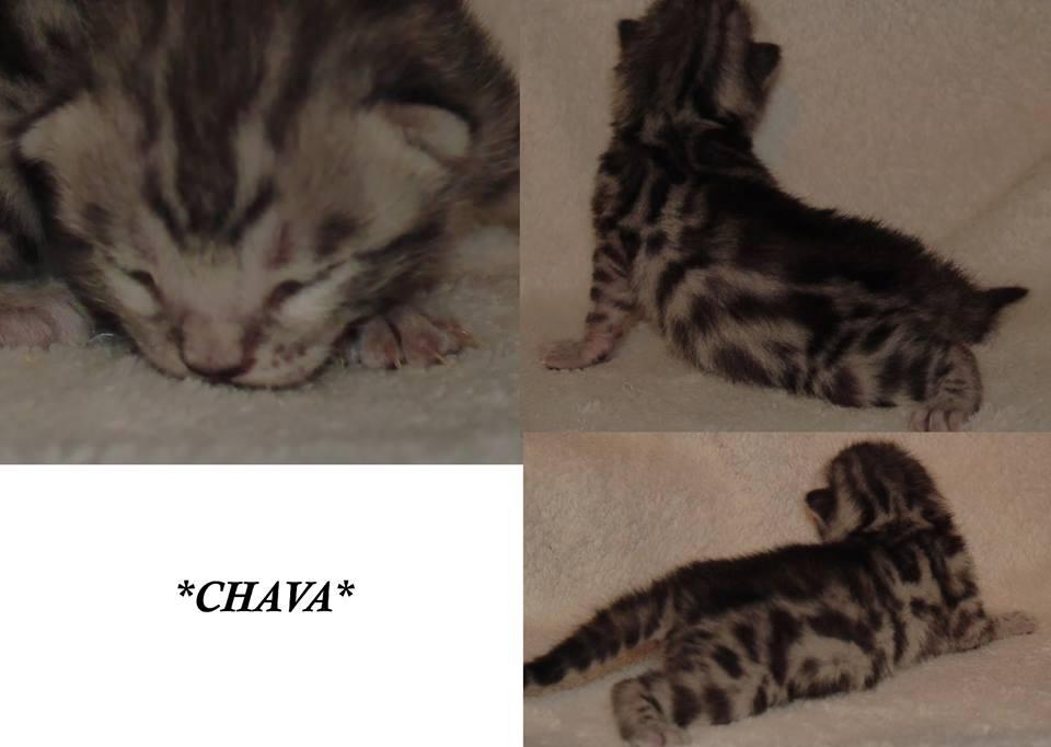 Chava - Silver Spotted GIrl Bengal Kitten 1 Week