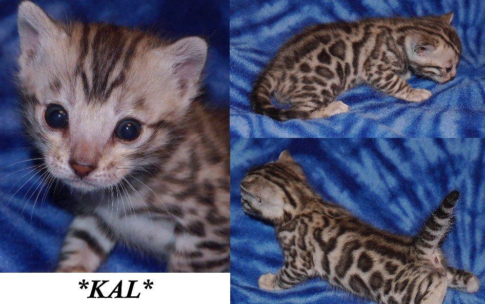 Kal Bengal Kitten 3 Weeks