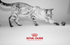 KotyKatz Royal Canin Cat Show Finnegan
