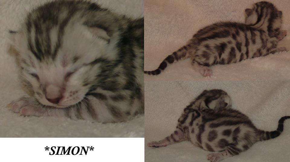 Simon - Silver Spotted Boy Bengal Kitten 1 Week
