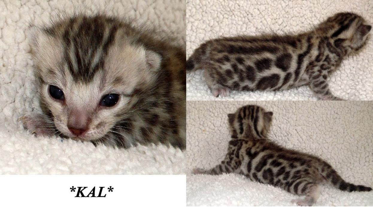 Kal Bengal Kitten 2 Weeks