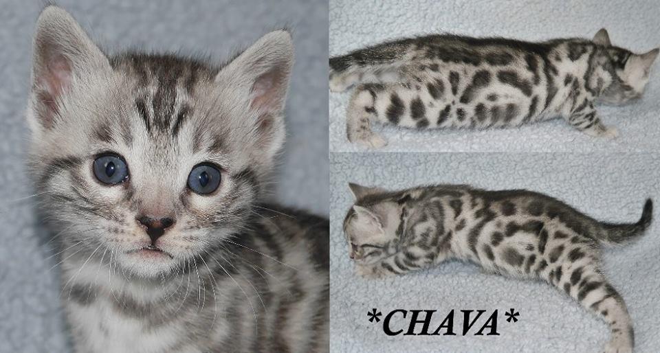 Chava 4 Weeks