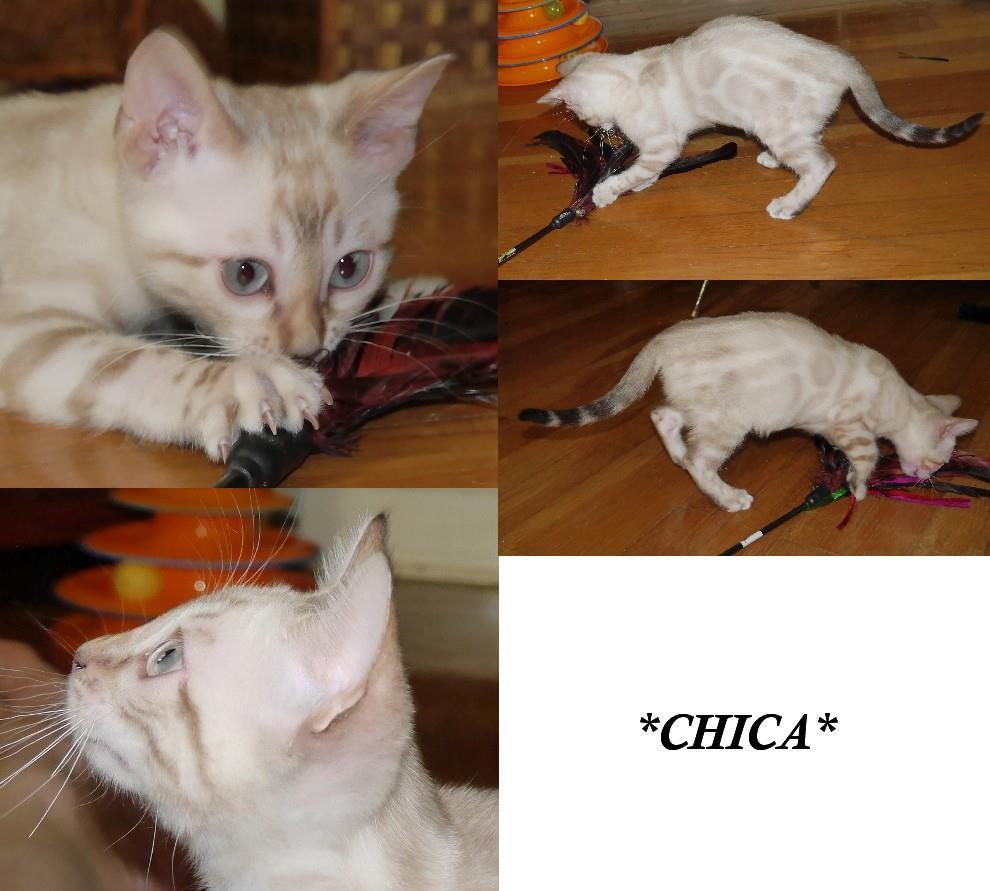 Chica - Seal Lynx Point Rosetted Female Bengal Kitten