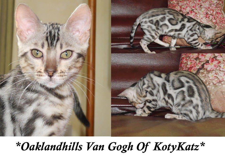 Oakland Hills Van Gogh of KotyKatz Silver Bengal Stud