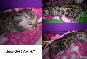 Silver Rosetted Female Bengal Kitten