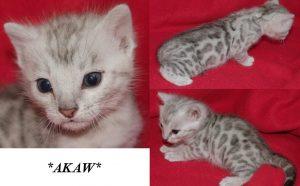 Akaw - Silver Bengal Kitten