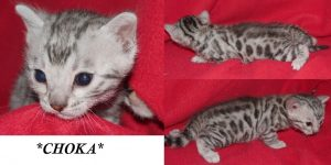 Choka Silver Bengal Kitten