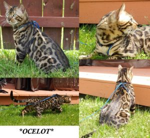Bengalscape Ocelot Brown Rosetted Bengal Stud