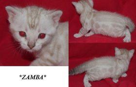 Zamba Snow Kitten
