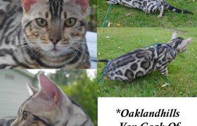 Oakland Hills Van Gogh of KotyKatz