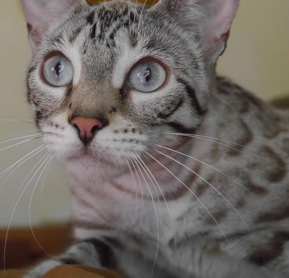 KotyKatz Bengal Breeder with Bengal Kittens for sale in Ohio