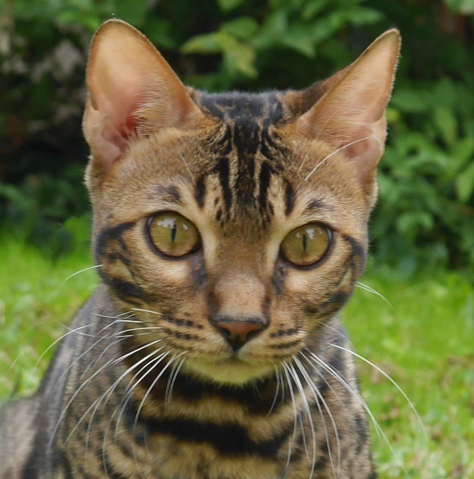 KotyKatz Bengal Breeder with Bengal Kittens for sale in Ohio