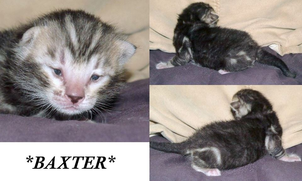 Baxter Silver Mable Bengal
