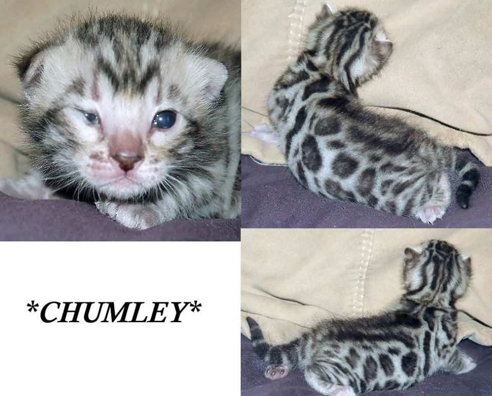 Chumley Silver Rosetted Bengal