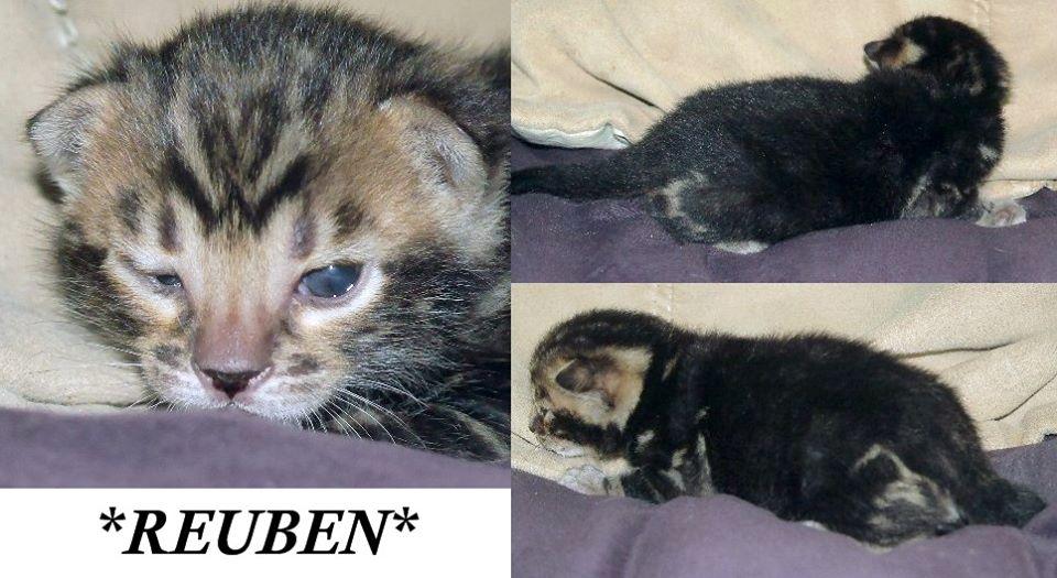 Reuben Brown Marble Bengal Kitten