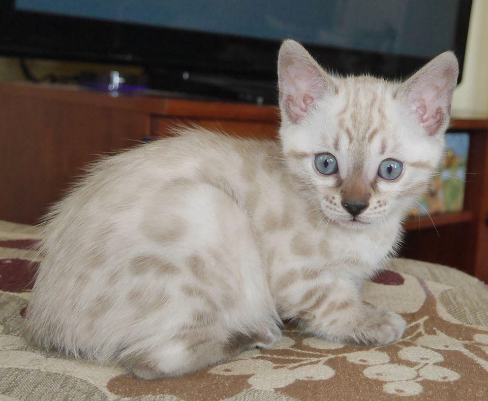 snow lynx bengal