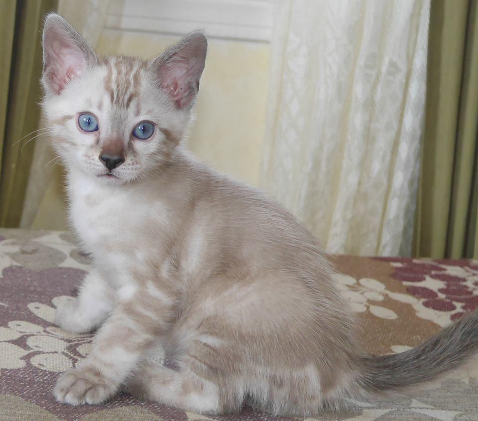A Bengal Cats Personality Sporty - KotyKatz Beng...