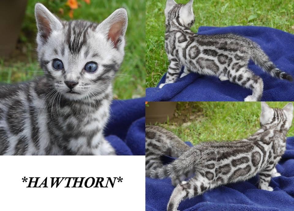 Hawthorn 5 Weeks