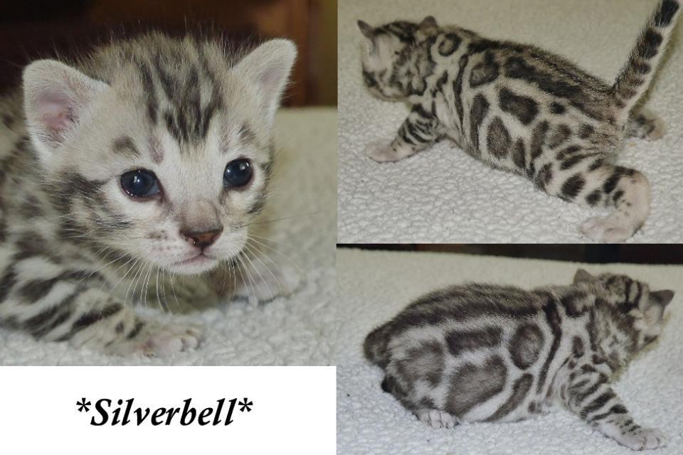 Silverbell 3 Weeks