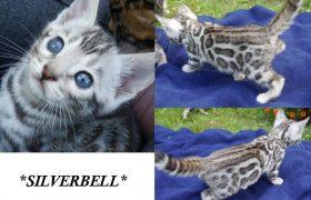 Silverbell 5 Weeks