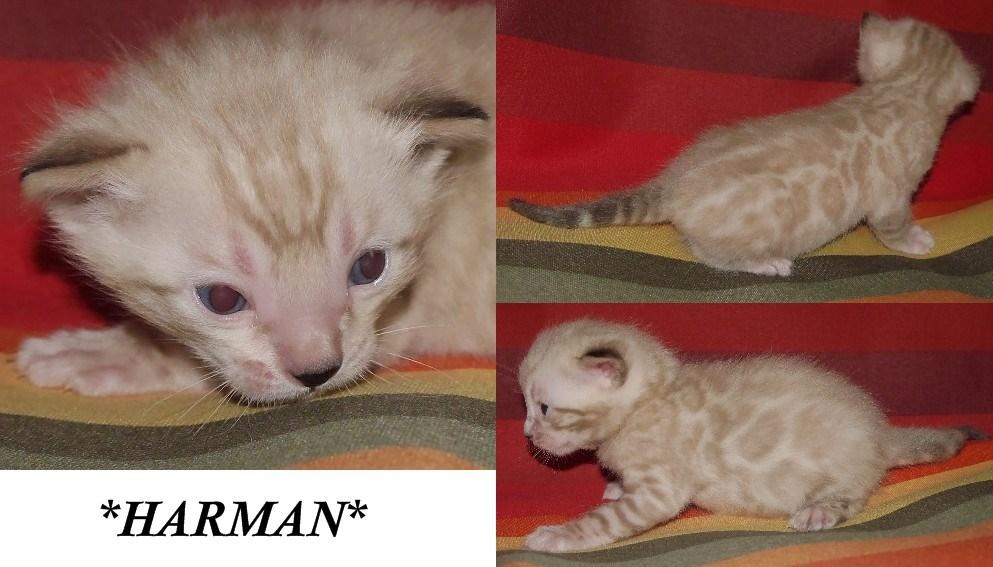 Harman 3 Weeks