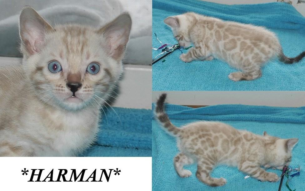 Harman 6 Weeks