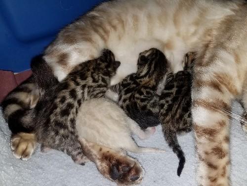 Ponyo and Ocelot Kittens