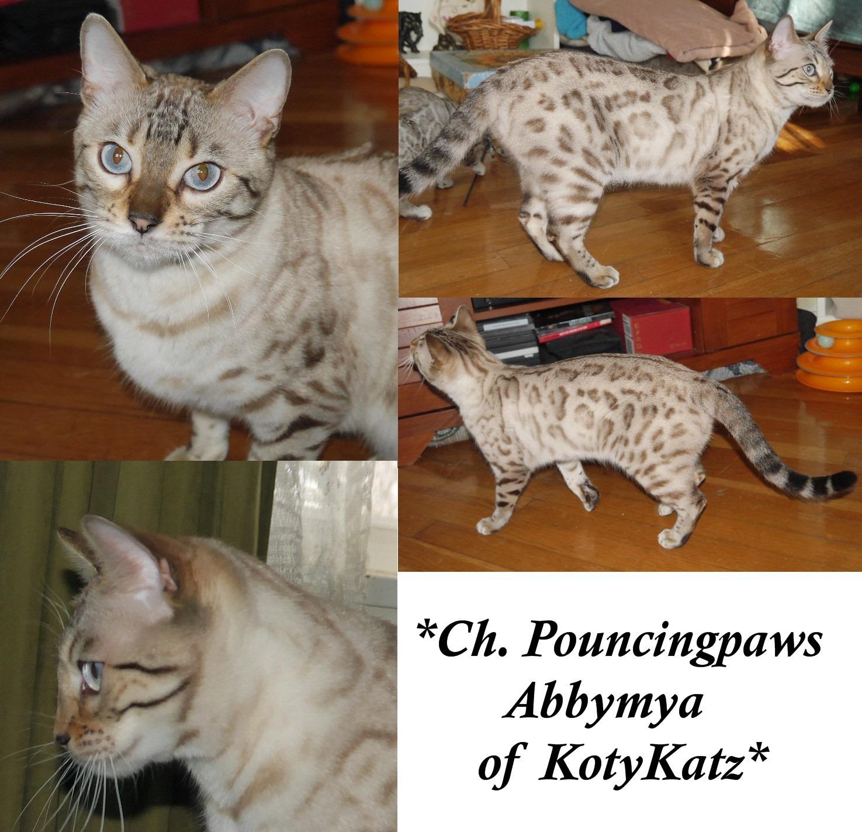 CH PouncingPaws Abbymya of KotyKatz