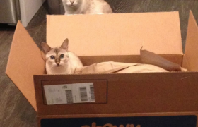 Bengal cats enjoying Chewy box