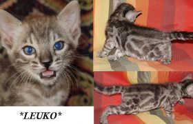 Leuko 5 Weeks