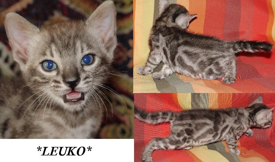 Leuko 5 Weeks