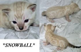 Snowball 3 Weeks