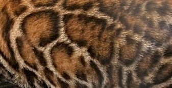Clouded Leopard Pattern