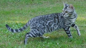 Cricket is a silver, rosetted, female F2 Bengal.