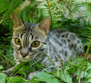 Kola is a brown, spotted, female F2 Bengal.