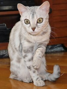 Sniglet is a silver, rosetted F2 female Bengal.